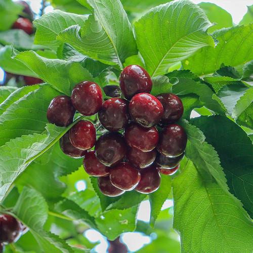 四川汉源冰酷大樱桃套袋果甜蜜黄新鲜现摘孕妇水果2斤